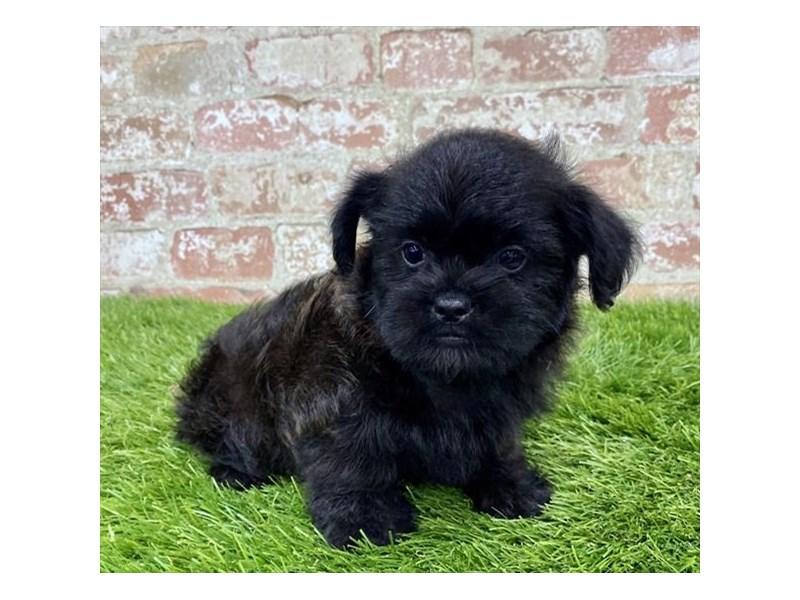Brussels Griffon/Poodle-DOG-Male-Black-2804805-Petland Naperville