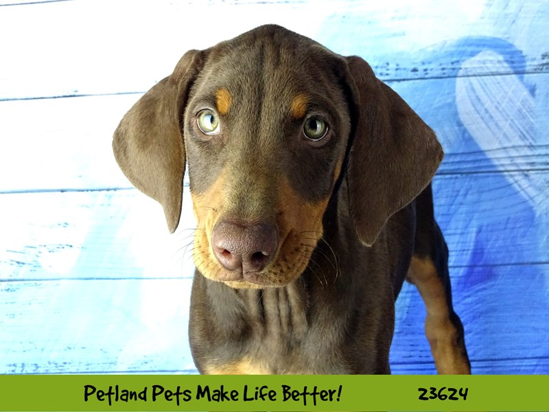 Doberman Pinscher-DOG-Female-Chocolate and Tan-2805102-Petland Aurora