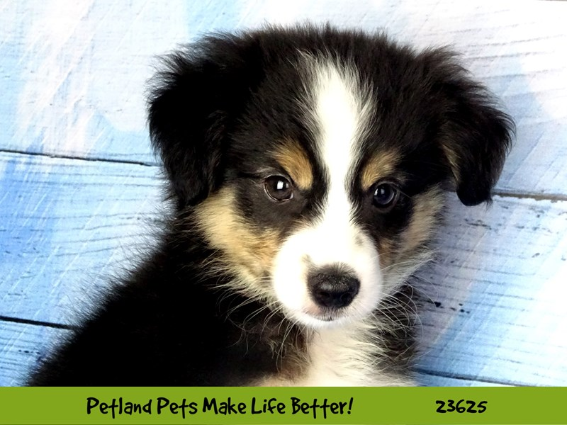 Miniature Australian Shepherd-Male-Black and White Tri Color-2810178-Petland Aurora
