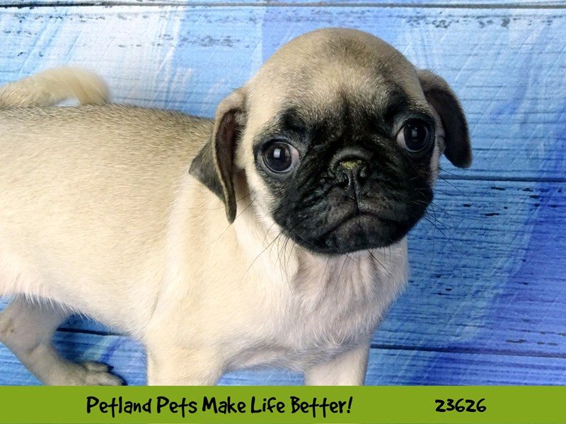 Pug-DOG-Female-Fawn-2810283-Petland Naperville