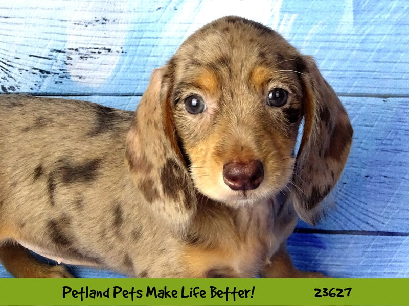 Dachshund-Female-Chocolate-2810217-Petland Naperville