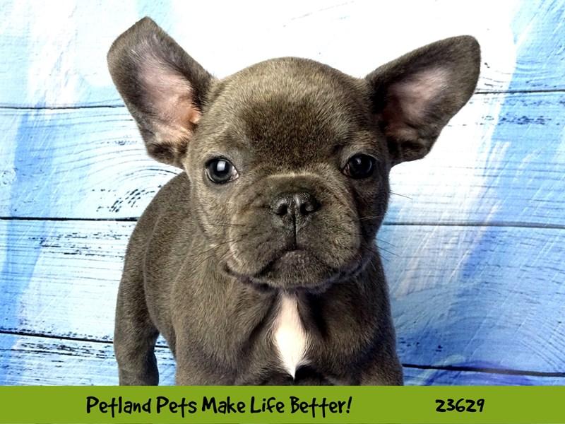 French Bulldog-DOG-Female-Blue-2810213-Petland Aurora