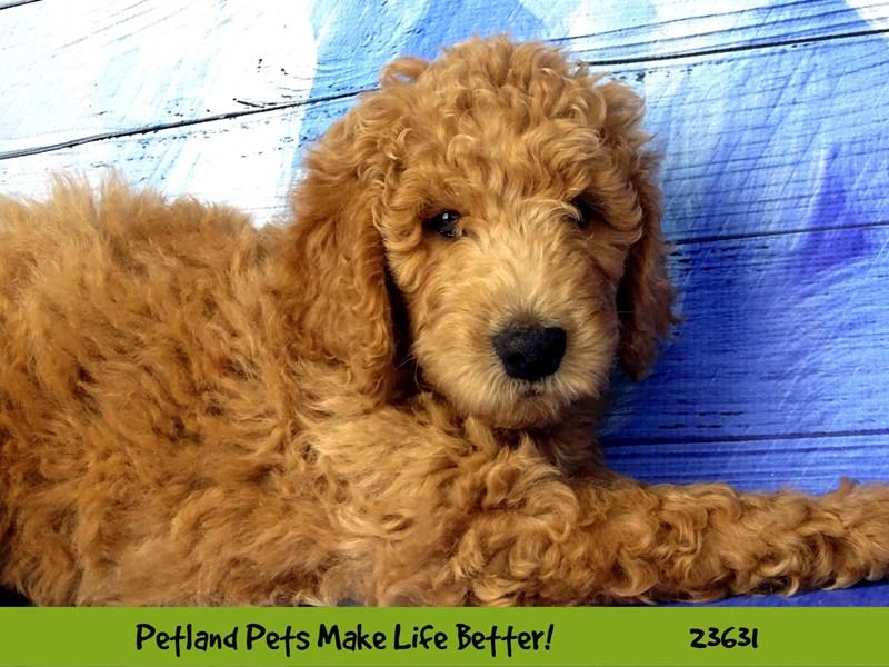 Goldendoodle/Poodle-Female-Apricot-2810220-Petland Naperville
