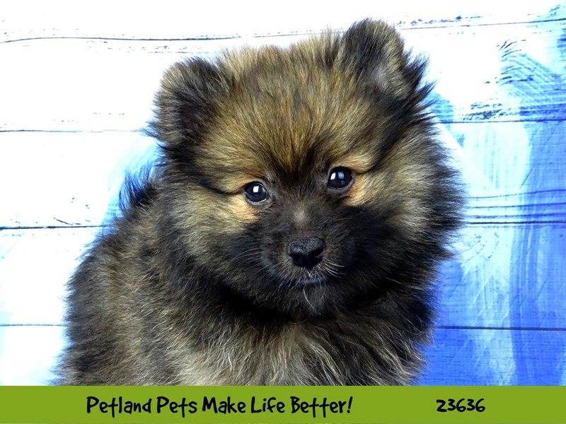 Pomeranian-DOG-Male-Sable-2810216-Petland Naperville