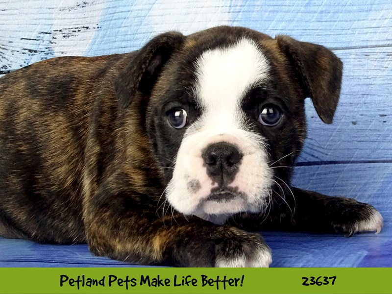 Bulldog/Boston Terrier-DOG-Female-Black / White Brindle-2810209-Petland Aurora