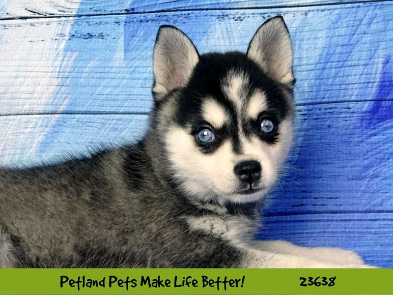 Alaskan Klee Kai-DOG-Male-Black / White-2811459-Petland Naperville
