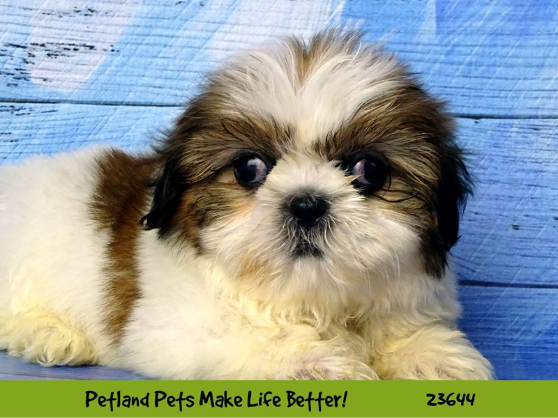 Shih Tzu-DOG-Female-Gold / White-2812261-Petland Naperville