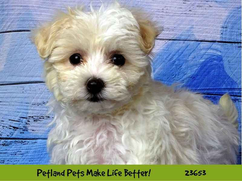 Maltipoo-DOG-Female-White-2812269-Petland Aurora