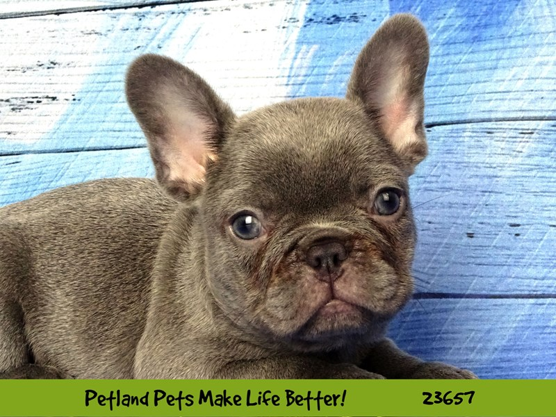 French Bulldog-Male-Lilac-2818634-Petland Naperville