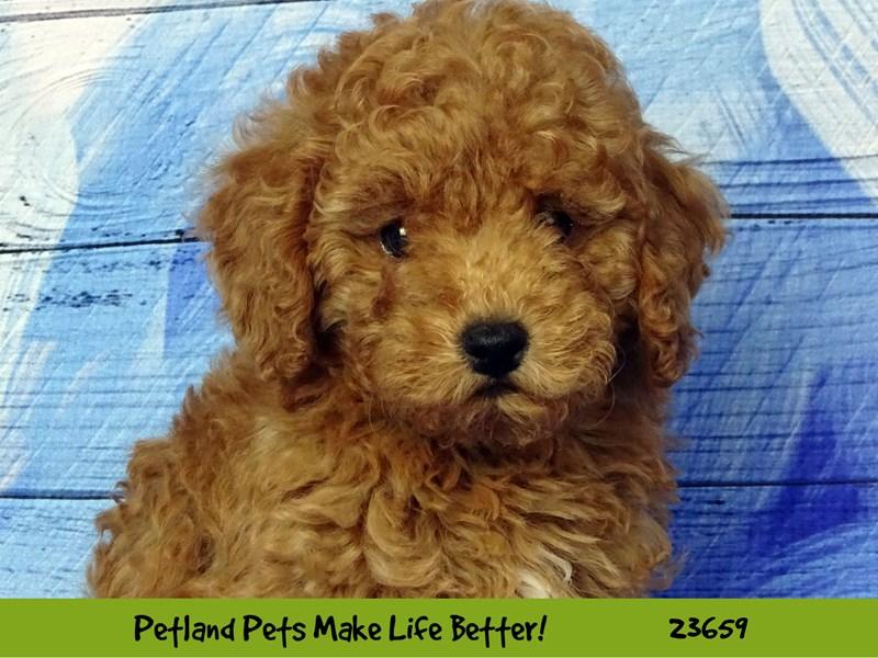 2nd Generation Mini Goldendoodle-DOG-Male-Red-2818758-Petland Naperville