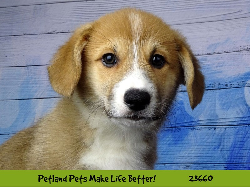 Pembroke Welsh Corgi-DOG-Male-Red and White-2818788-Petland Naperville