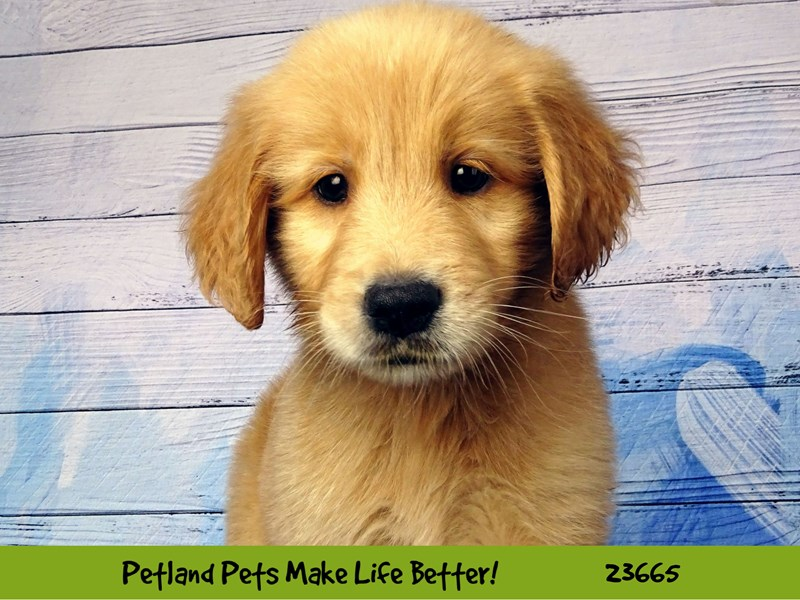 Golden Retriever-Male-Golden-2819071-Petland Naperville