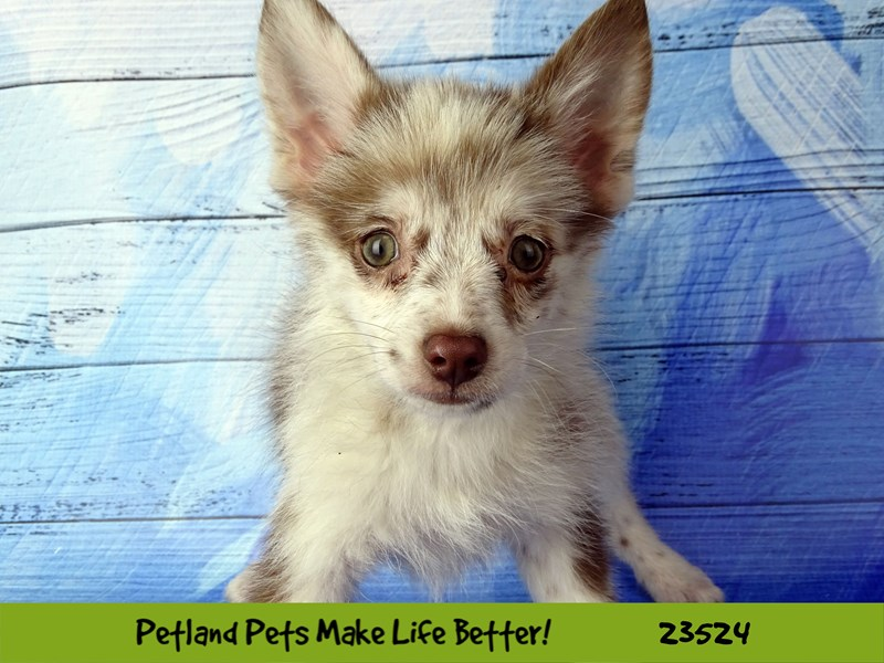 Pomsky 2nd Gen-DOG-Female-Red Merle-2773561-Petland Naperville