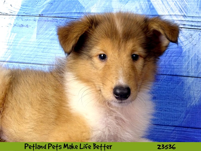 Collie-Male-Sable / White-2781513-Petland Naperville