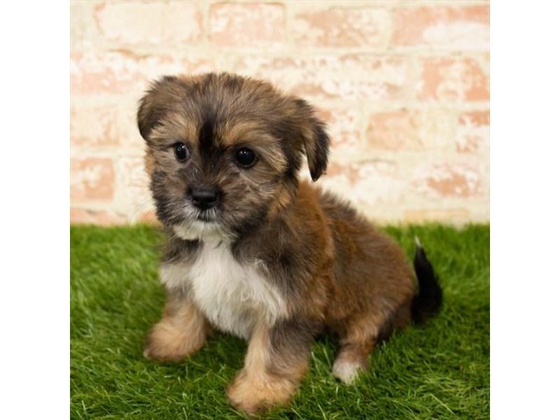 Shorkie-DOG-Female-Golden-2790582-Petland Aurora
