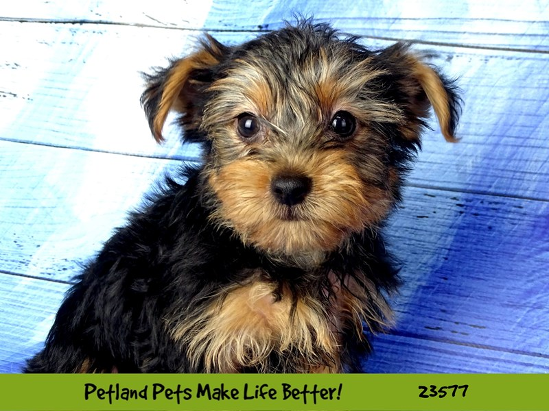 Yorkshire Terrier-Female-Black / Tan-2795661-Petland Naperville