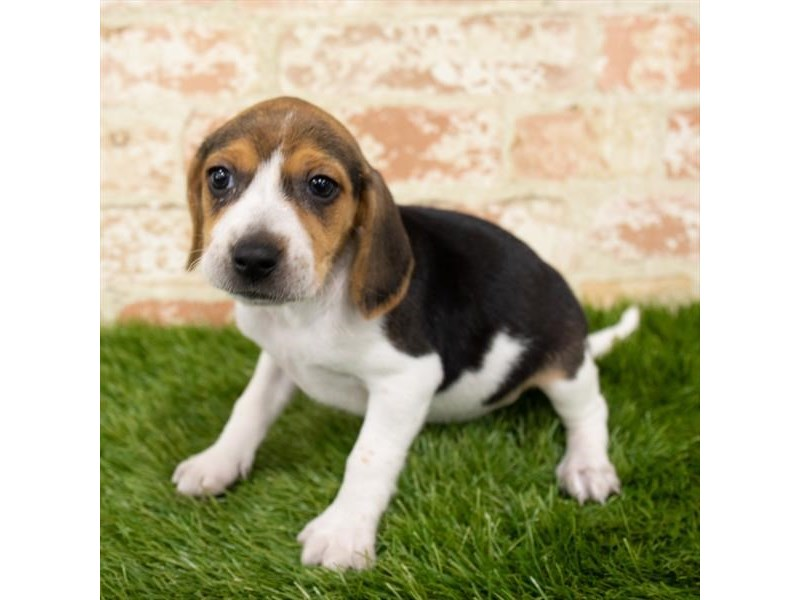 Beagle-Female-Black White / Tan-2797603-Petland Naperville
