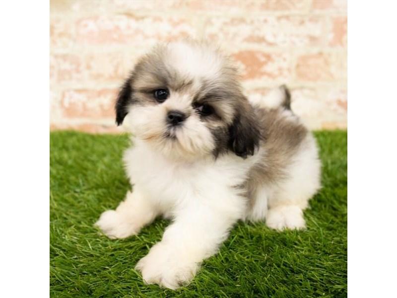 Lhasa Apso-DOG-Female-Brindle-2797611-Petland Naperville