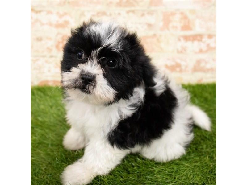 Teddy Bear-Male-Black / White-2797619-Petland Naperville