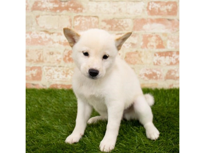 Shiba Inu-DOG-Female-Cream-2797621-Petland Naperville