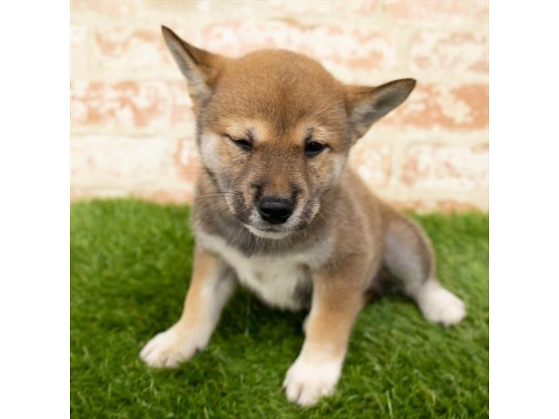 Shiba Inu-DOG-Male-Red Sesame-2797623-Petland Naperville