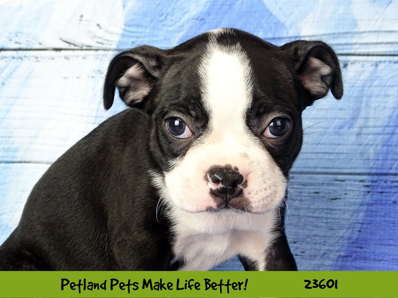 Boston Terrier-Female-Black / White-2802922-Petland Naperville