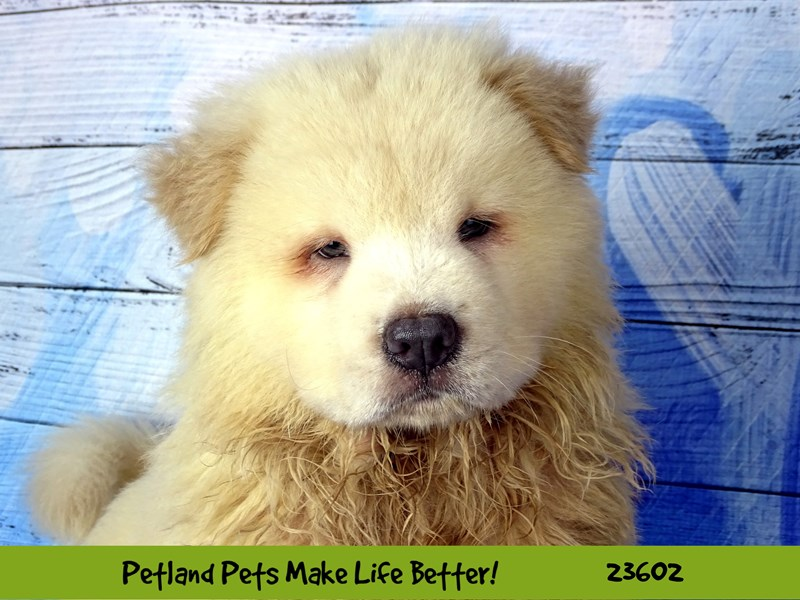 Chow Chow-Male-Cream-2802916-Petland Naperville