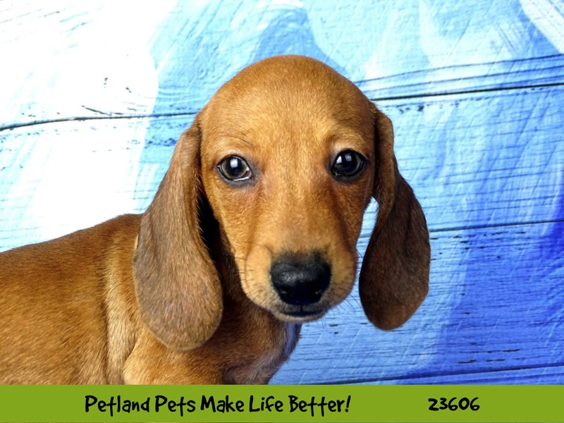 Dachshund-Male-Red Sable-2803512-Petland Naperville