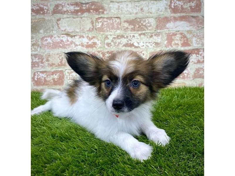 Papillon-Male-White / Sable-2804795-Petland Naperville