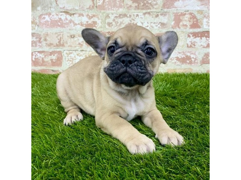 French Bulldog-Female-Fawn-2804796-Petland Naperville