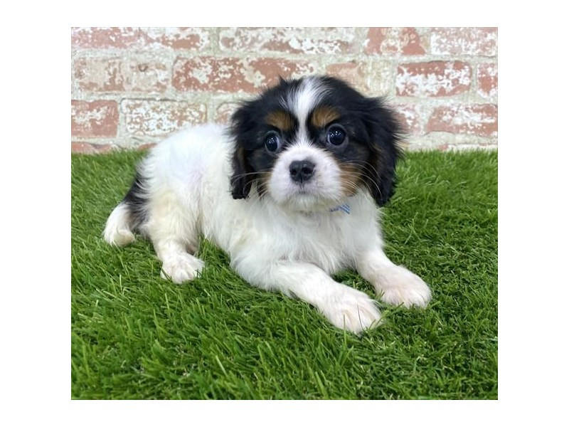 Cavalier King Charles Spaniel-Female-Black White / Tan-2804842-Petland Naperville
