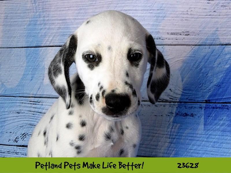 Dalmatian-Female-White / Black-2810218-Petland Naperville