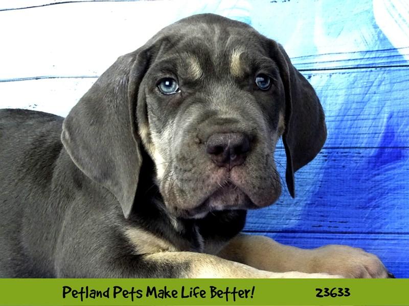Cane Corso-DOG-Male-Blue-2810214-Petland Naperville