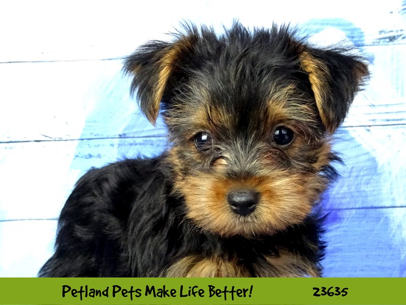 Yorkshire Terrier-Male-Black / Tan-2810210-Petland Naperville