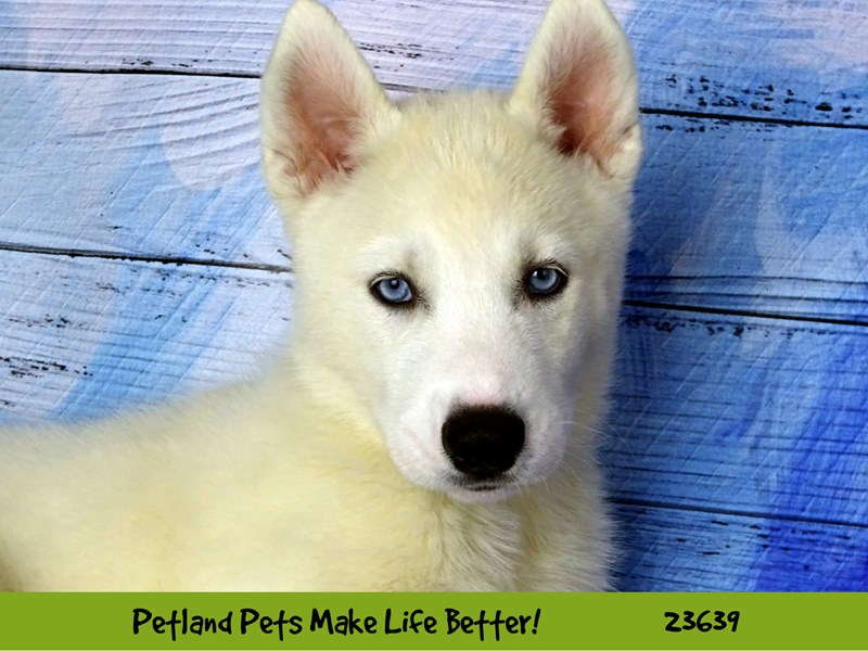 Siberian Husky-Male-White-2811463-Petland Naperville