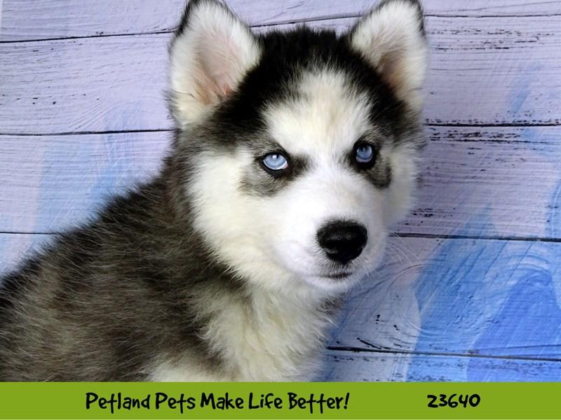 Siberian Husky-Female-Black / White-2811461-Petland Naperville