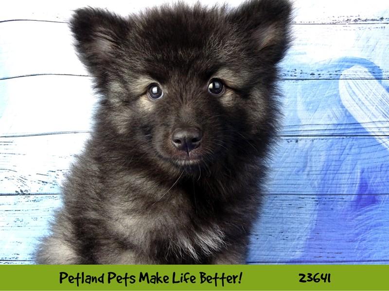 Keeshond-Male-Black / Silver-2811464-Petland Naperville