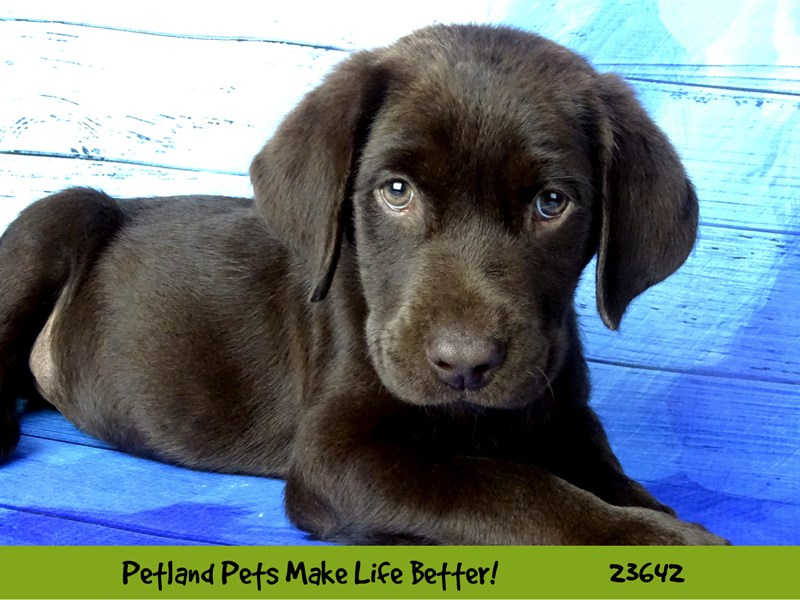 Labrador Retriever-Male-Chocolate-2812279-Petland Naperville
