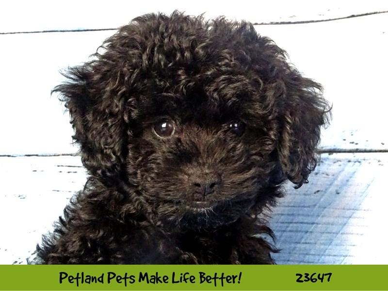 Poodle-Male-Black-2812248-Petland Naperville