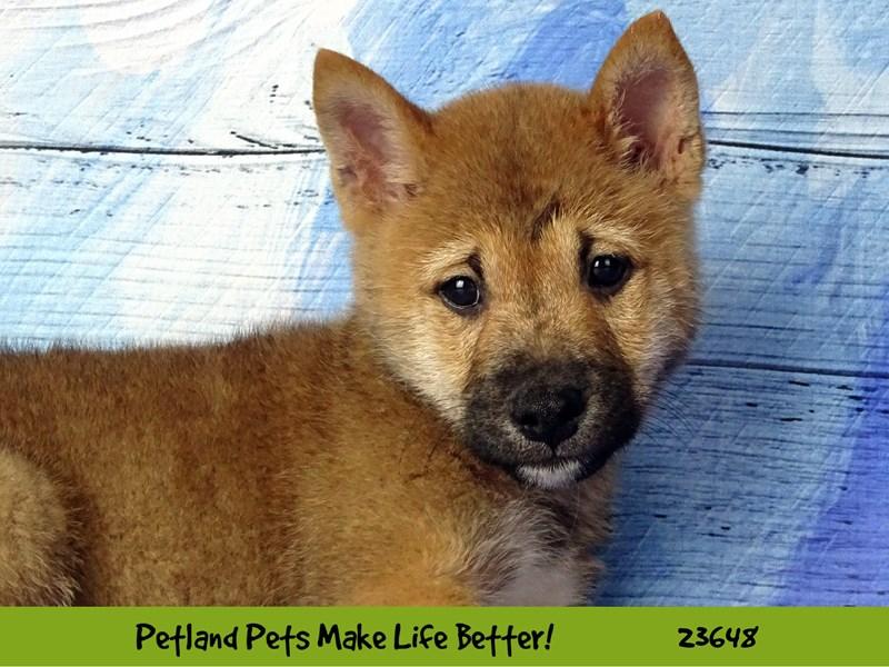 Shiba Inu-Male-Red Sesame-2812251-Petland Naperville