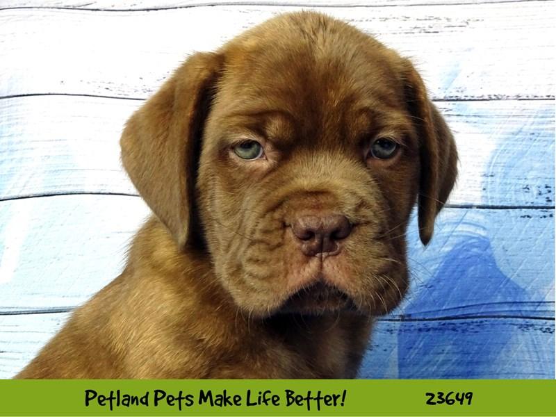 Dogue De Bordeaux-Male-Red Brindle-2812247-Petland Naperville