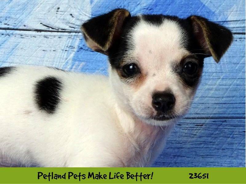 Chihuahua-Male-Black / Tan-2812253-Petland Naperville
