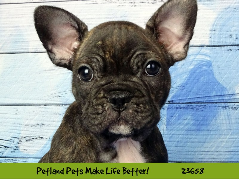 French Bulldog-Male-Brindle-2818635-Petland Naperville