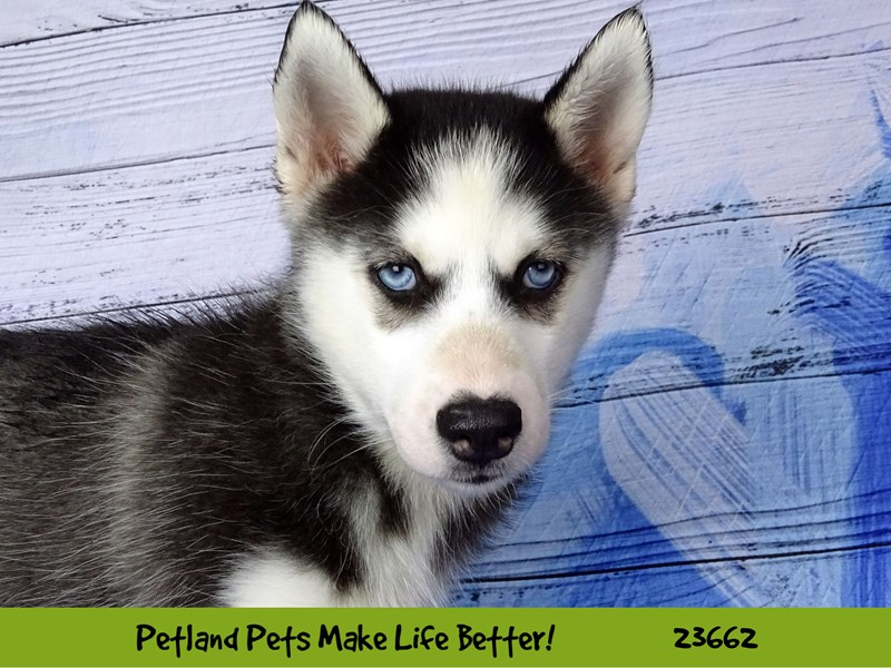 Siberian Husky-Female-Black and White-2818888-Petland Naperville