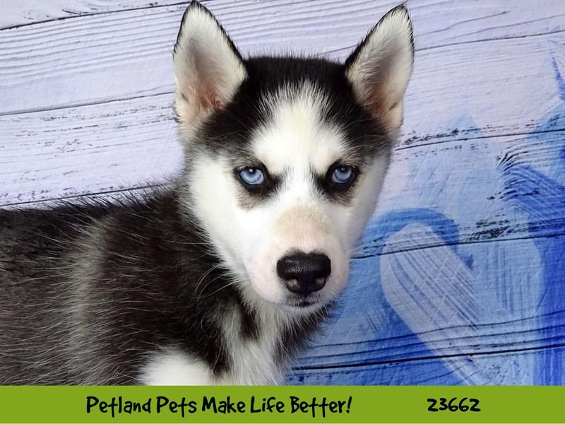 Siberian Husky-DOG-Female-Black and White-2818888-Petland Aurora