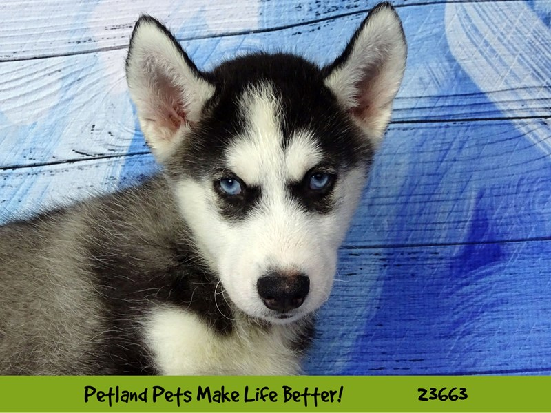 Siberian Husky-Male-Black and White-2818960-Petland Naperville