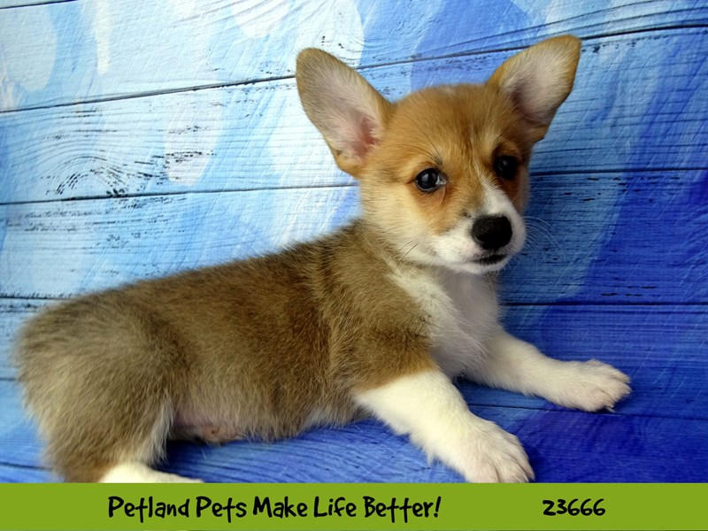 Pembroke Welsh Corgi-DOG-Female-Red and White-2826234-Petland Naperville