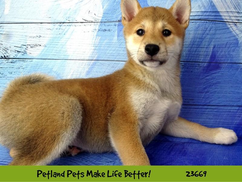 Shiba Inu-Female-Red-2826352-Petland Naperville