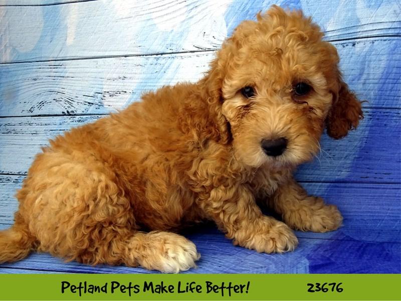 Miniature Poodle/Labrador Retriever-DOG-Male-Red-2826236-Petland Naperville