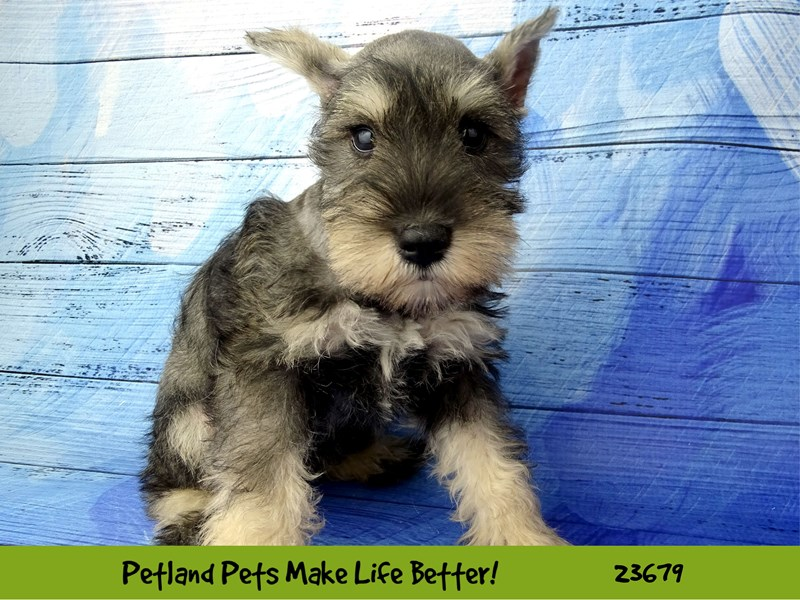 Miniature Schnauzer-Female-Salt / Pepper-2826251-Petland Naperville